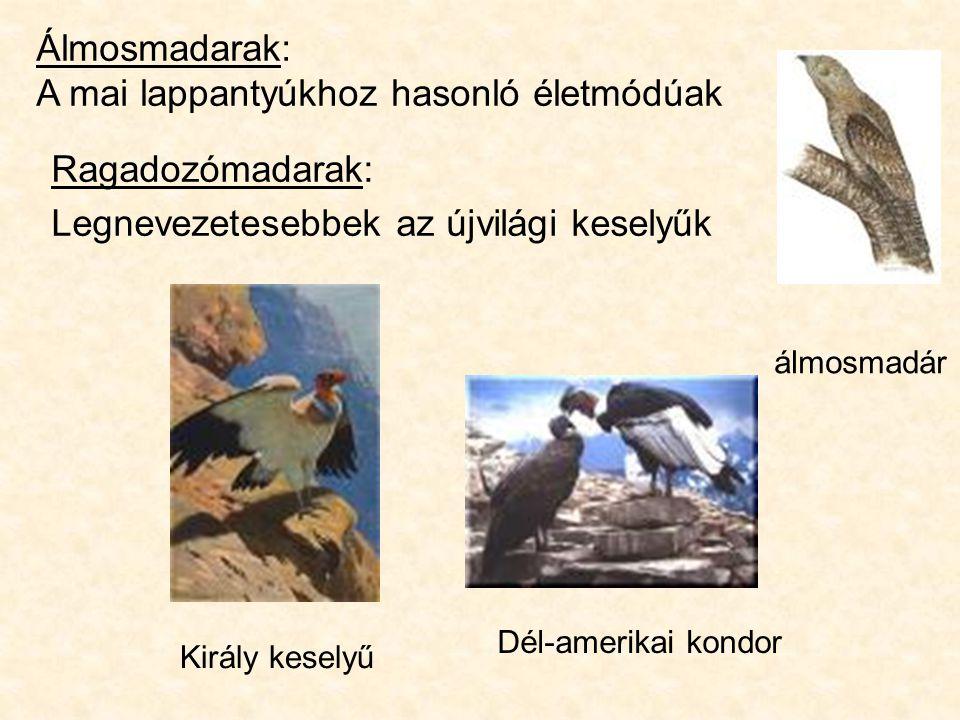 Ragadozómadarak: Legnevezetesebbek az újvilági keselyűk Álmosmadarak: A mai lappantyúkhoz hasonló életmódúak álmosmadár Dél-amerikai kondor Király keselyű