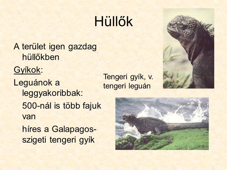 Hüllők A terület igen gazdag hüllőkben Gyíkok: Leguánok a leggyakoribbak: 500-nál is több fajuk van híres a Galapagos- szigeti tengeri gyík Tengeri gyík, v.