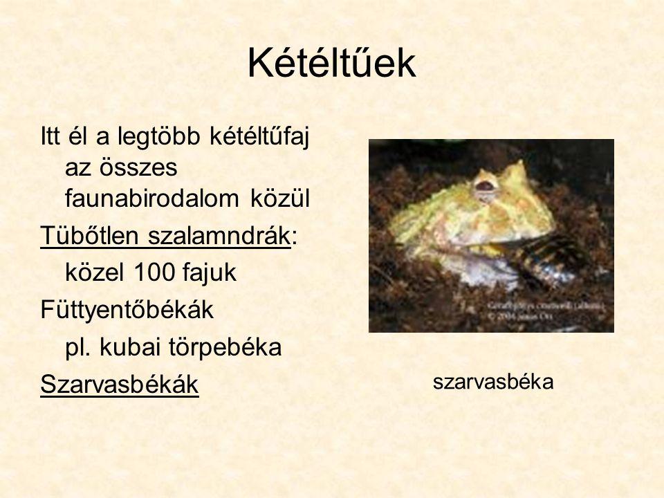 Kétéltűek Itt él a legtöbb kétéltűfaj az összes faunabirodalom közül Tübőtlen szalamndrák: közel 100 fajuk Füttyentőbékák pl.