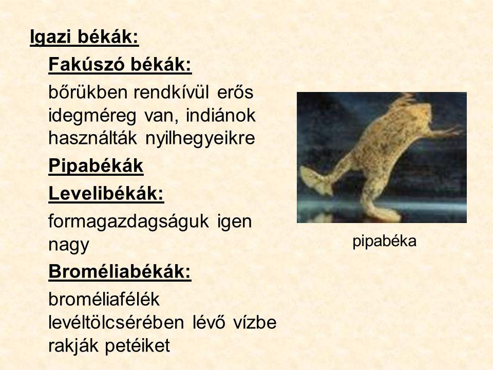 Igazi békák: Fakúszó békák: bőrükben rendkívül erős idegméreg van, indiánok használták nyilhegyeikre Pipabékák Levelibékák: formagazdagságuk igen nagy Broméliabékák: broméliafélék levéltölcsérében lévő vízbe rakják petéiket pipabéka