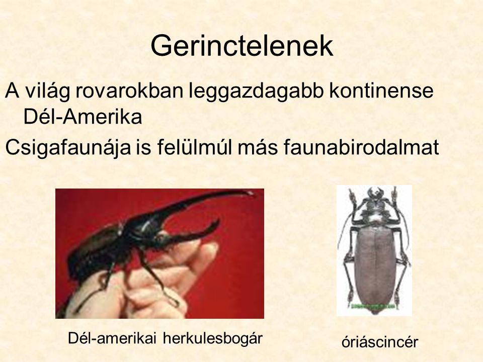 Gerinctelenek A világ rovarokban leggazdagabb kontinense Dél-Amerika Csigafaunája is felülmúl más faunabirodalmat Dél-amerikai herkulesbogár óriáscincér