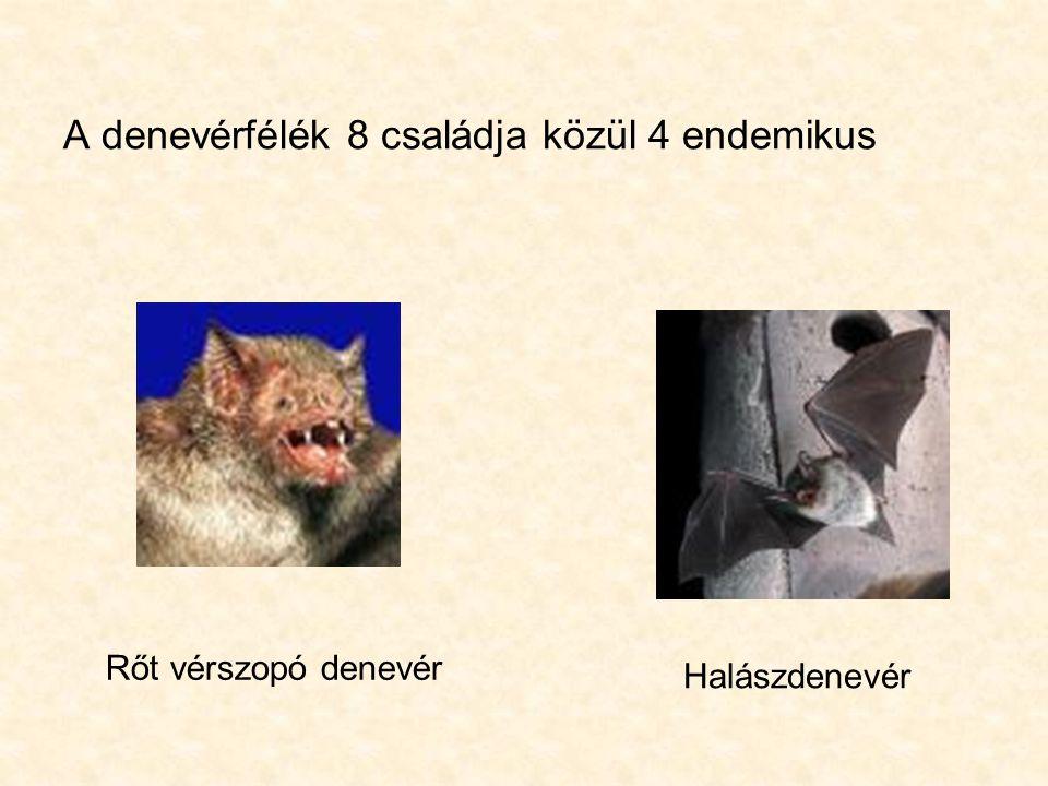A denevérfélék 8 családja közül 4 endemikus Rőt vérszopó denevérHalászdenevér