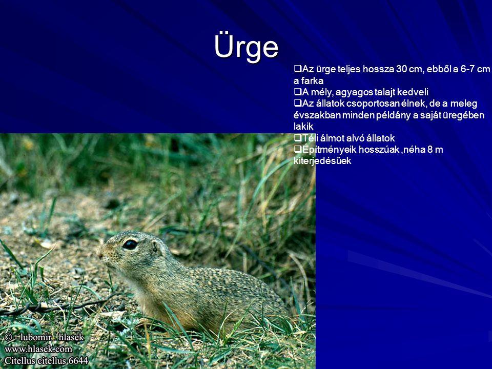 Ürge  Az ürge teljes hossza 30 cm, ebből a 6-7 cm a farka  A mély, agyagos talajt kedveli  Az állatok csoportosan élnek, de a meleg évszakban minde