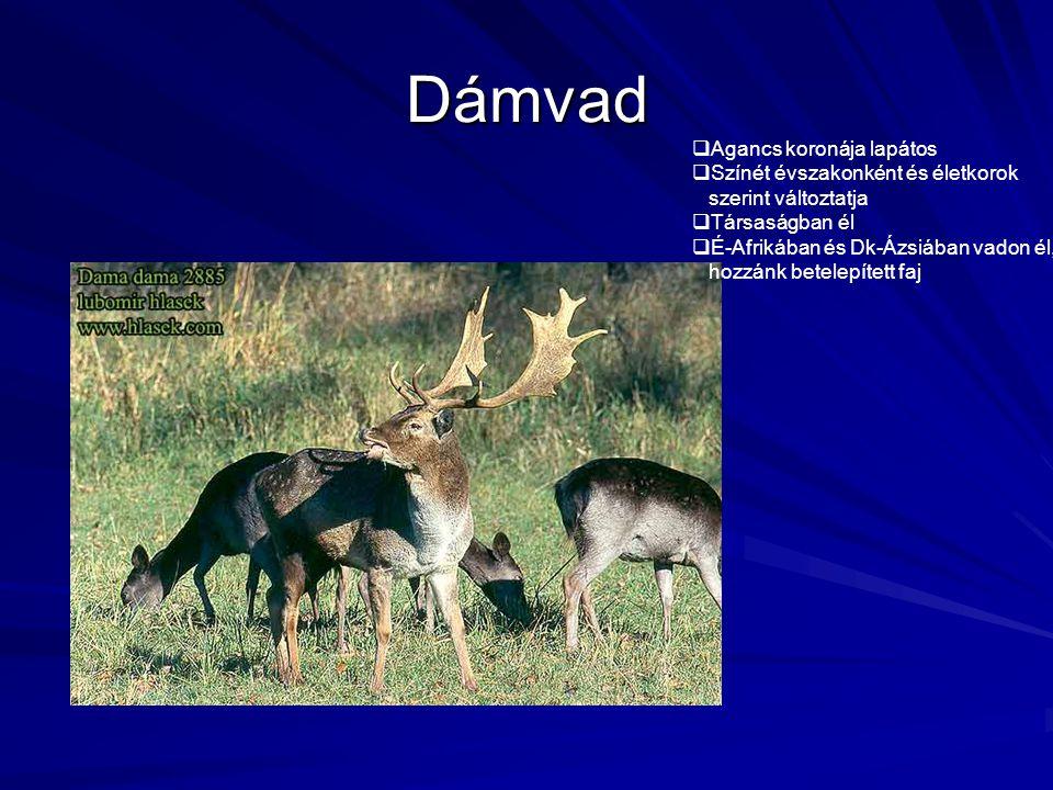 Dámvad  Agancs koronája lapátos  Színét évszakonként és életkorok szerint változtatja  Társaságban él  É-Afrikában és Dk-Ázsiában vadon él, hozzán