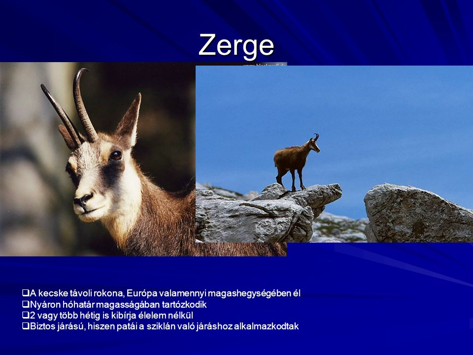Zerge  A kecske távoli rokona, Európa valamennyi magashegységében él  Nyáron hóhatár magasságában tartózkodik  2 vagy több hétig is kibírja élelem