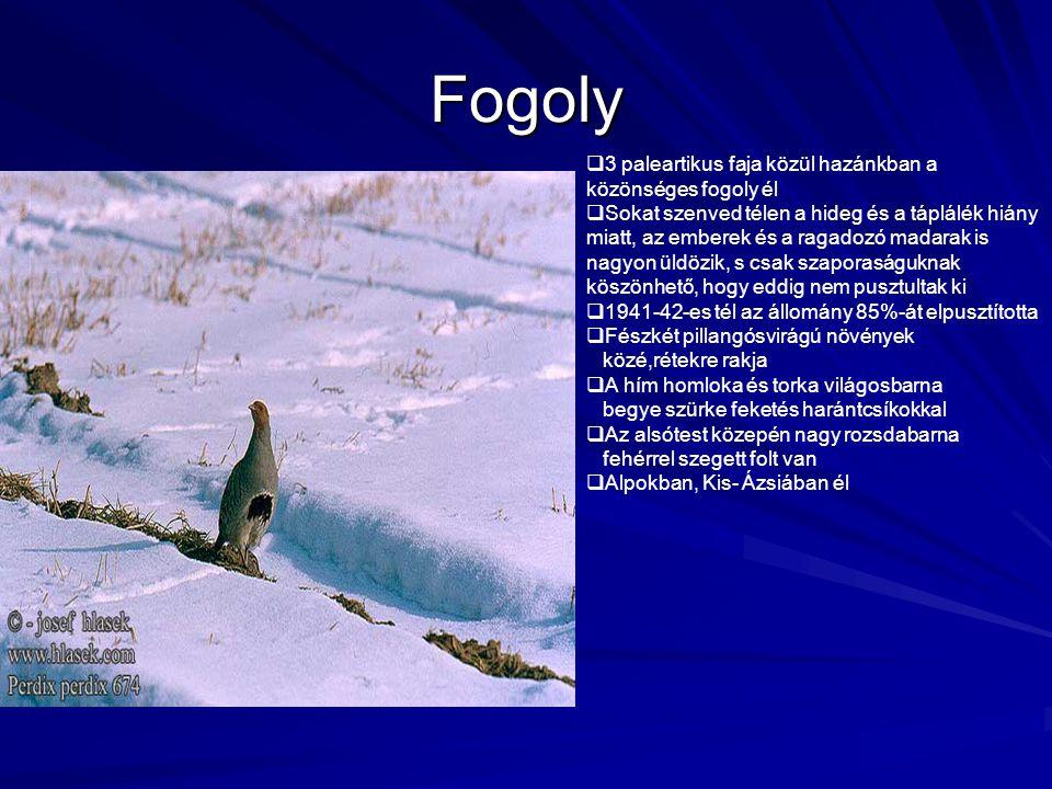 Fogoly  3 paleartikus faja közül hazánkban a közönséges fogoly él  Sokat szenved télen a hideg és a táplálék hiány miatt, az emberek és a ragadozó m