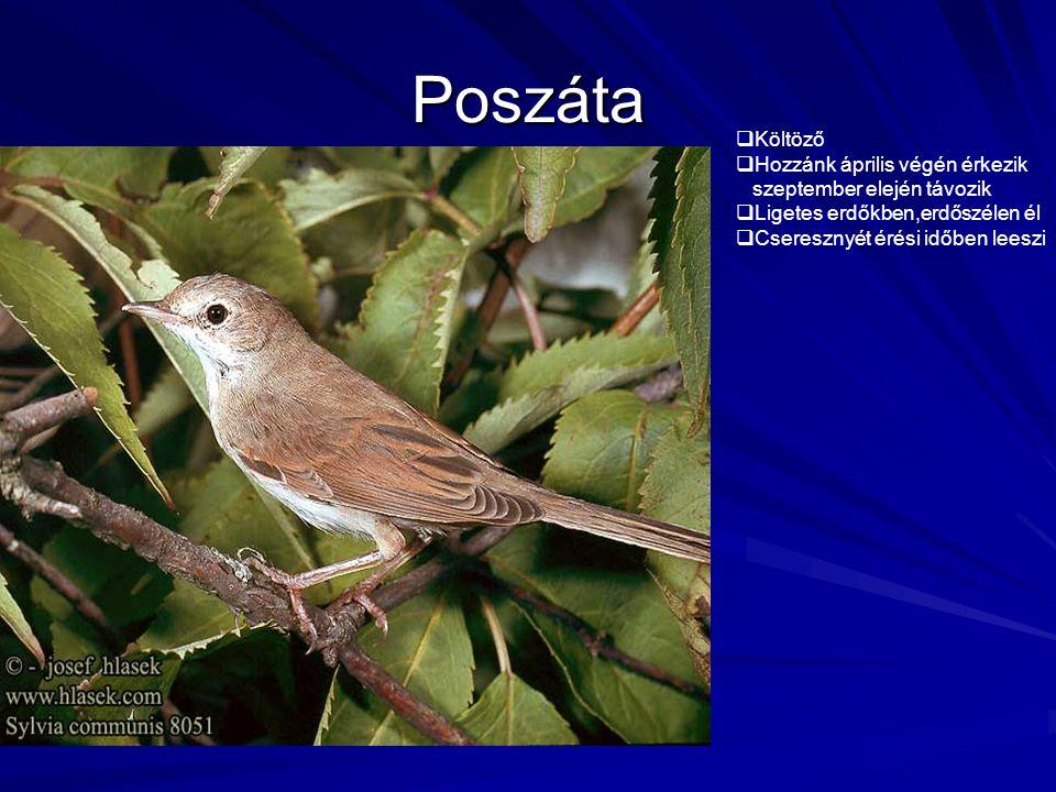 Poszáta  Költöző  Hozzánk április végén érkezik szeptember elején távozik  Ligetes erdőkben,erdőszélen él  Cseresznyét érési időben leeszi