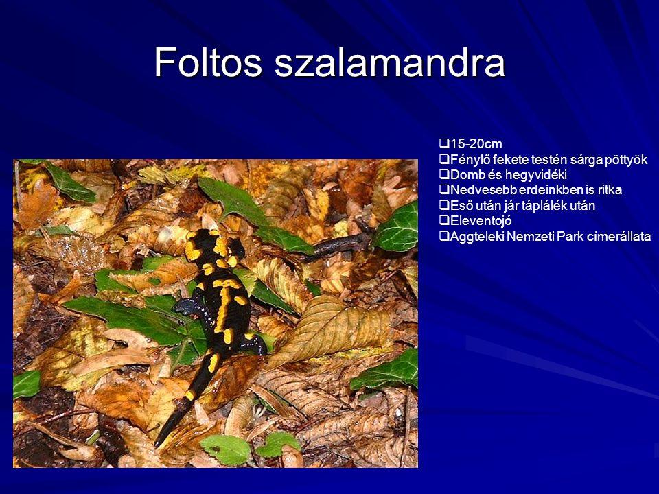 Foltos szalamandra  15-20cm  Fénylő fekete testén sárga pöttyök  Domb és hegyvidéki  Nedvesebb erdeinkben is ritka  Eső után jár táplálék után 
