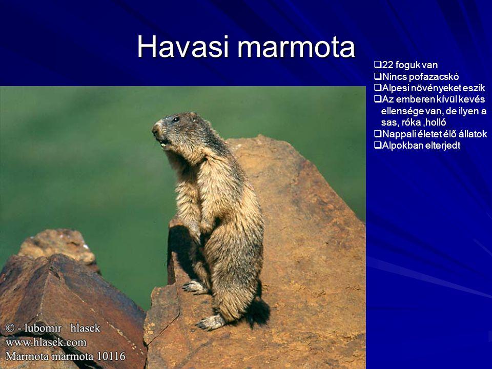 Havasi marmota  22 foguk van  Nincs pofazacskó  Alpesi növényeket eszik  Az emberen kívül kevés ellensége van, de ilyen a sas, róka,holló  Nappal