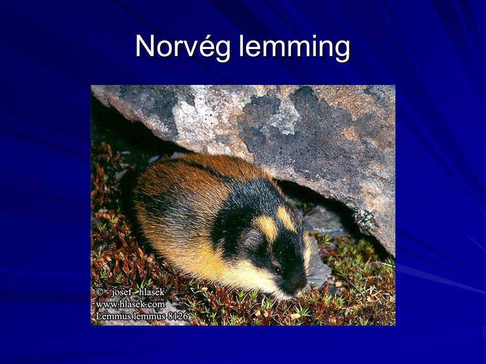 Norvég lemming
