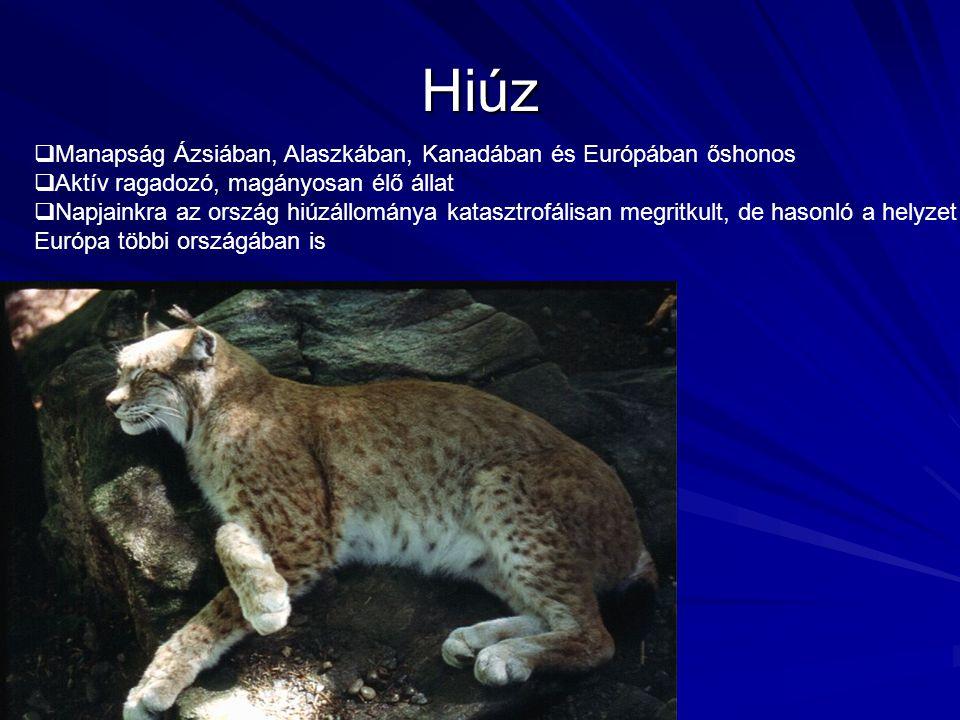 Hiúz  Manapság Ázsiában, Alaszkában, Kanadában és Európában őshonos  Aktív ragadozó, magányosan élő állat  Napjainkra az ország hiúzállománya katas