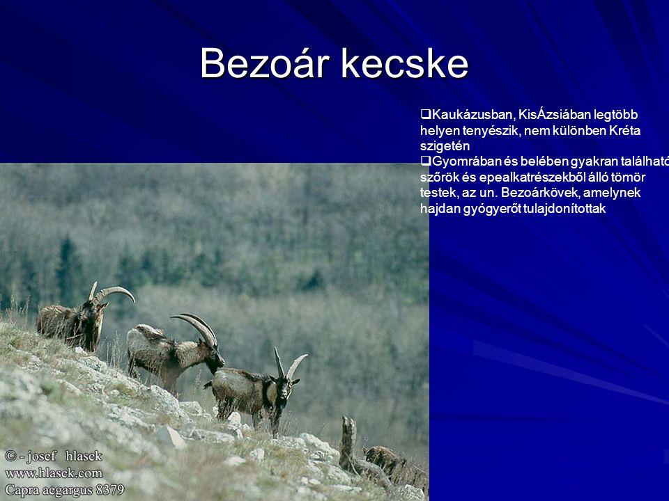 Bezoár kecske  Kaukázusban, KisÁzsiában legtöbb helyen tenyészik, nem különben Kréta szigetén  Gyomrában és belében gyakran található szőrök és epea