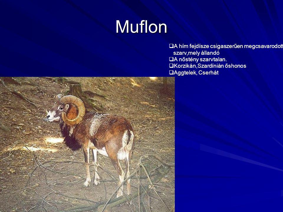Muflon  A hím fejdísze csigaszerűen megcsavarodott szarv,mely állandó  A nőstény szarvtalan.  Korzikán,Szardínián őshonos  Aggtelek, Cserhát