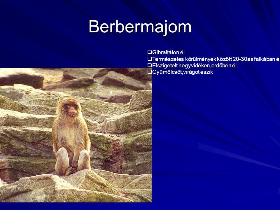 Berbermajom  Gibraltálon él  Természetes körülmények között 20-30as falkában él  Elszigetelt hegyvidéken,erdőben él.  Gyümölcsöt,virágot eszik