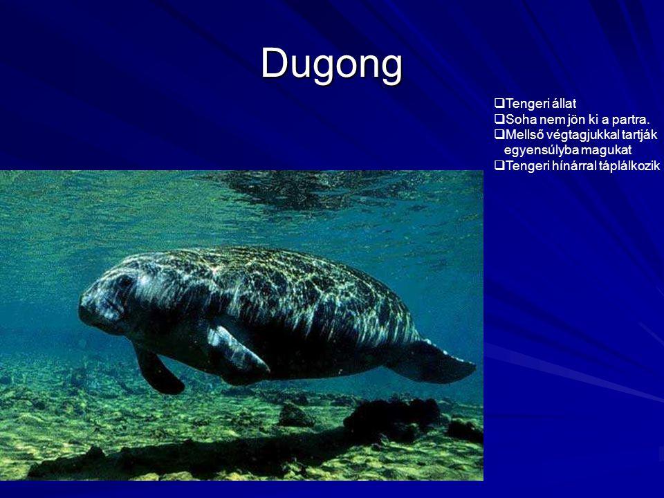 Dugong  Tengeri állat  Soha nem jön ki a partra.  Mellső végtagjukkal tartják egyensúlyba magukat  Tengeri hínárral táplálkozik