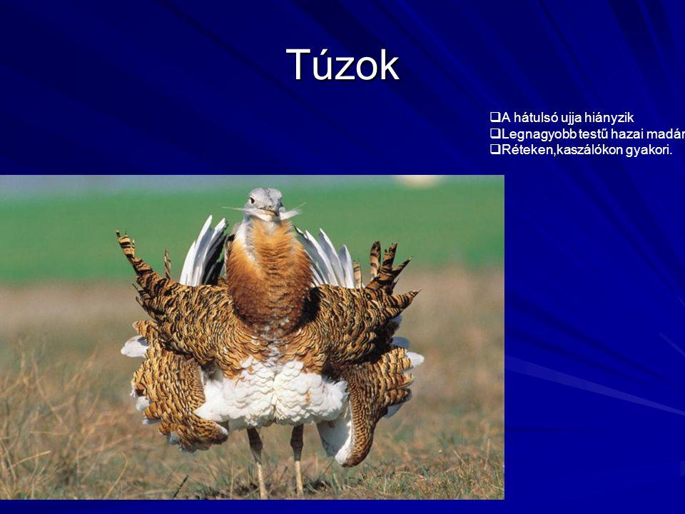 Túzok  A hátulsó ujja hiányzik  Legnagyobb testű hazai madár  Réteken,kaszálókon gyakori.