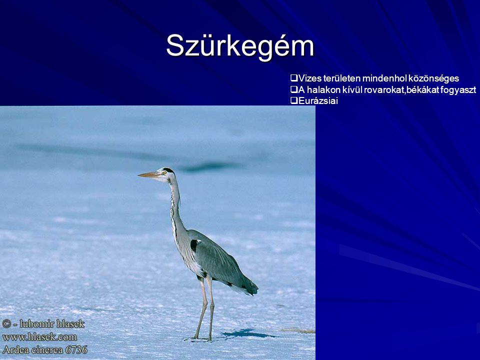Szürkegém  Vizes területen mindenhol közönséges  A halakon kívül rovarokat,békákat fogyaszt  Eurázsiai
