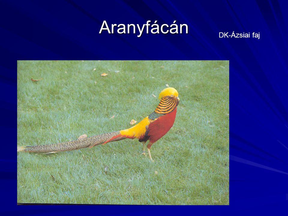 Aranyfácán DK-Ázsiai faj