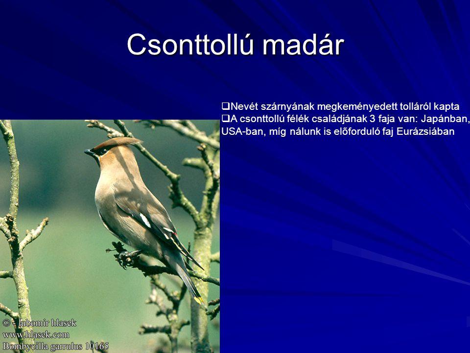 Csonttollú madár  Nevét szárnyának megkeményedett tolláról kapta  A csonttollú félék családjának 3 faja van: Japánban, USA-ban, míg nálunk is előfor