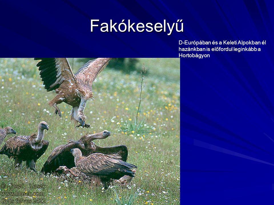 Fakókeselyű D-Európában és a Keleti Alpokban él hazánkban is előfordul leginkább a Hortobágyon