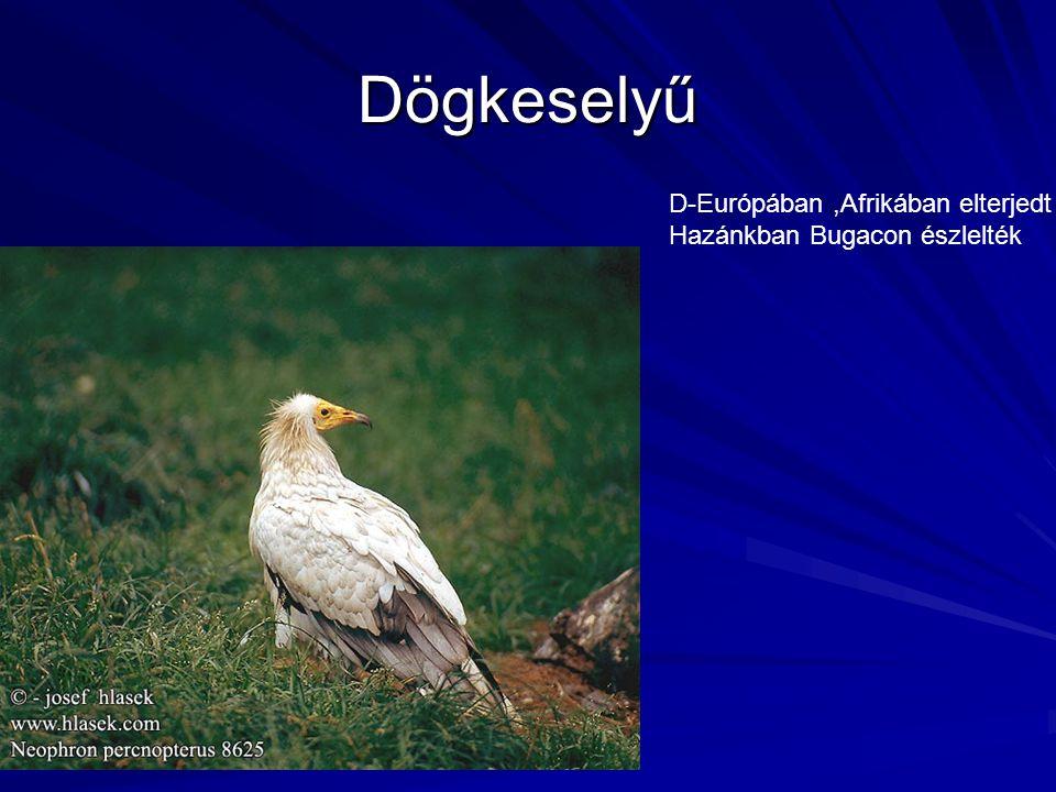 Dögkeselyű D-Európában,Afrikában elterjedt Hazánkban Bugacon észlelték