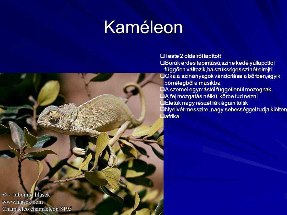 Kaméleon  Teste 2 oldalról lapított  Bőrük érdes tapintású,színe kedélyállapottól függően változik,ha szükséges színét elrejti  Oka a színanyagok v