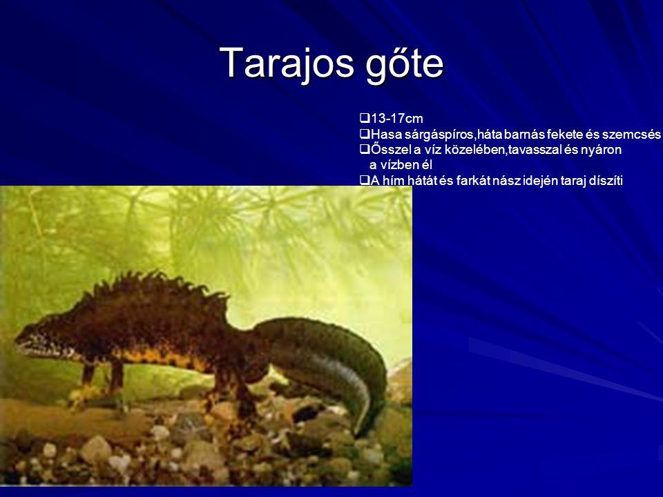 Tarajos gőte  13-17cm  Hasa sárgáspíros,háta barnás fekete és szemcsés  Ősszel a víz közelében,tavasszal és nyáron a vízben él  A hím hátát és far