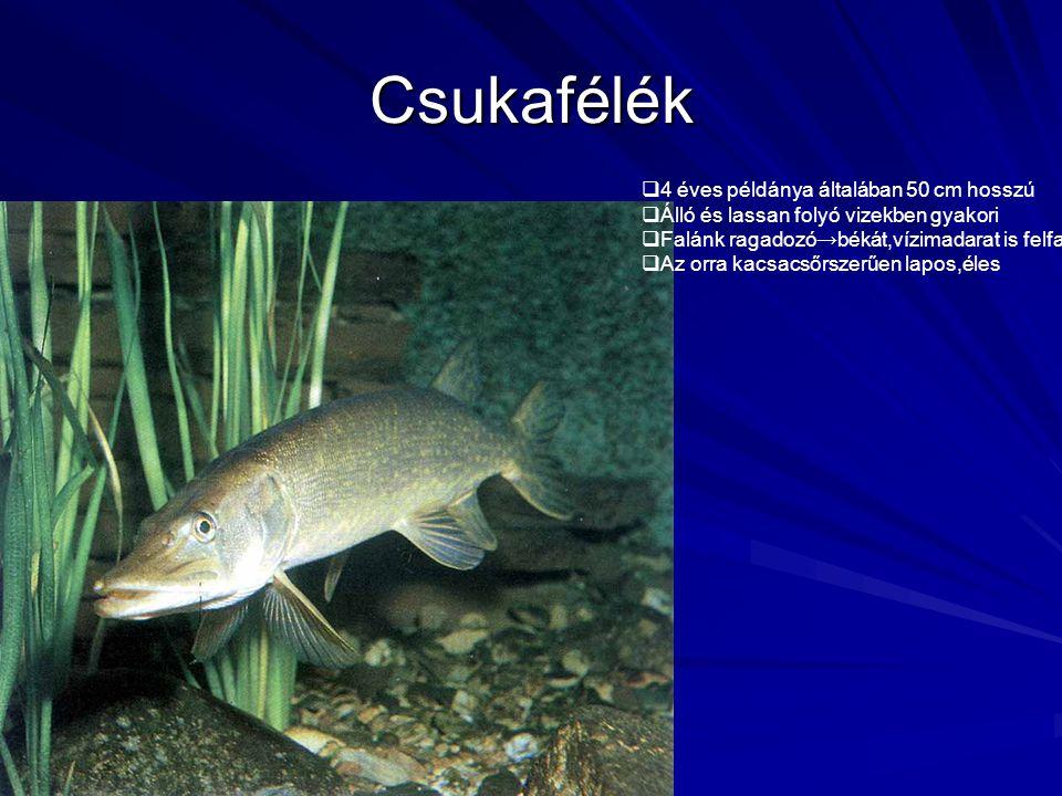 Csukafélék  4 éves példánya általában 50 cm hosszú  Álló és lassan folyó vizekben gyakori  Falánk ragadozó → békát,vízimadarat is felfal  Az orra