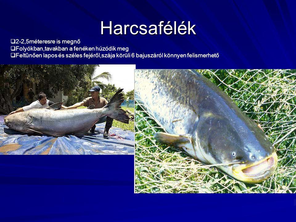 Harcsafélék  2-2,5méteresre is megnő  Folyókban,tavakban a fenéken húzódik meg  Feltűnően lapos és széles fejéről,szája körüli 6 bajuszáról könnyen