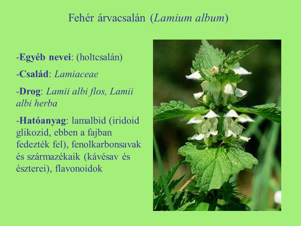 Fehér árvacsalán (Lamium album) -Egyéb nevei: (holtcsalán) -Család: Lamiaceae -Drog: Lamii albi flos, Lamii albi herba -Hatóanyag: lamalbid (iridoid g