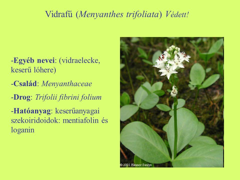 Vidrafű (Menyanthes trifoliata) V édett! -Egyéb nevei: (vidraelecke, keserű lóhere) -Család: Menyanthaceae -Drog: Trifolii fibrini folium -Hatóanyag: