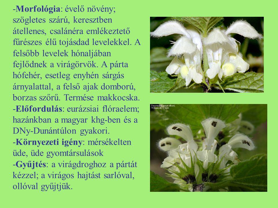 -Morfológia: évelő növény; szögletes szárú, keresztben átellenes, csalánéra emlékeztető fűrészes élű tojásdad levelekkel. A felsőbb levelek hónaljában