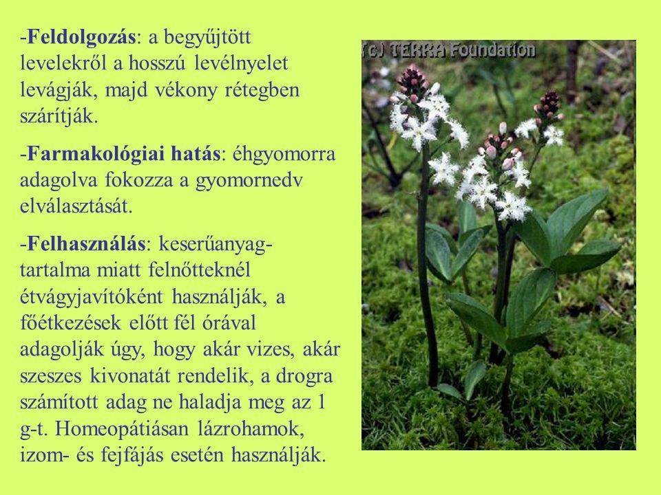 -Feldolgozás: a begyűjtött levelekről a hosszú levélnyelet levágják, majd vékony rétegben szárítják. -Farmakológiai hatás: éhgyomorra adagolva fokozza