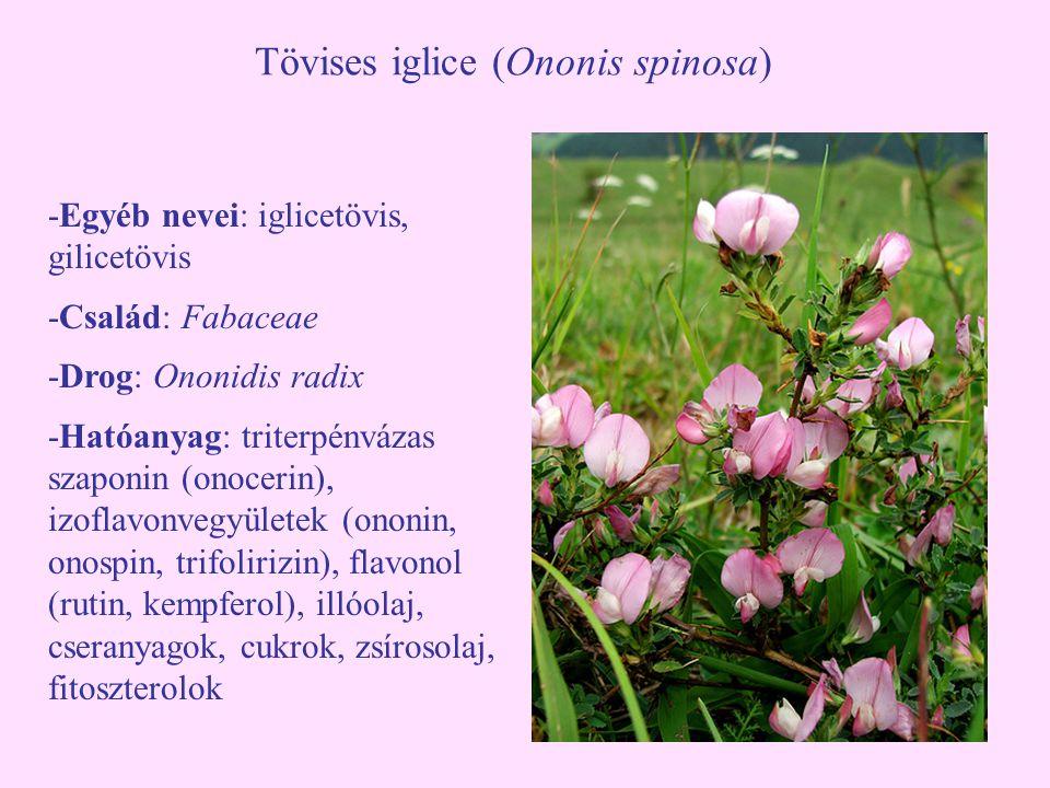 Tövises iglice (Ononis spinosa) -Egyéb nevei: iglicetövis, gilicetövis -Család: Fabaceae -Drog: Ononidis radix -Hatóanyag: triterpénvázas szaponin (on