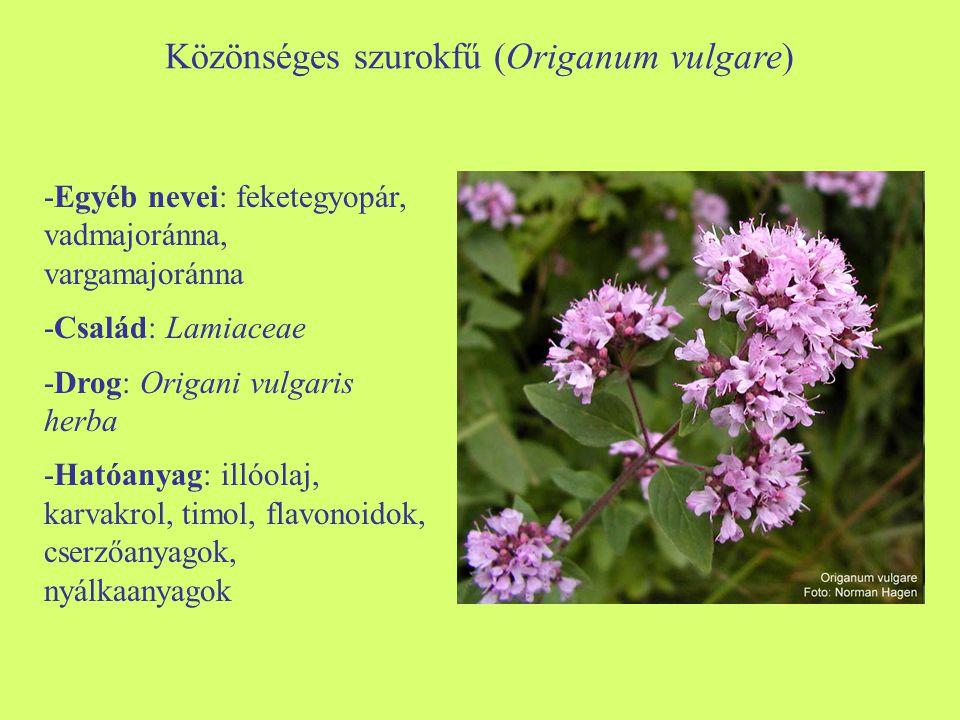 Közönséges szurokfű (Origanum vulgare) -Egyéb nevei: feketegyopár, vadmajoránna, vargamajoránna -Család: Lamiaceae -Drog: Origani vulgaris herba -Ható