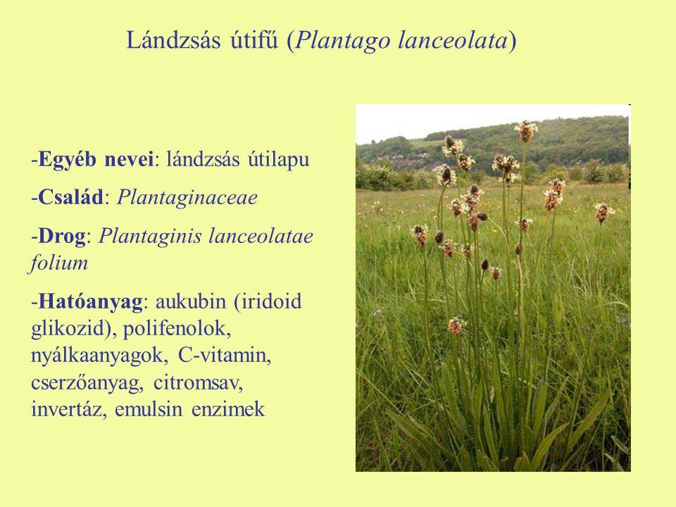 Lándzsás útifű (Plantago lanceolata) -Egyéb nevei: lándzsás útilapu -Család: Plantaginaceae -Drog: Plantaginis lanceolatae folium -Hatóanyag: aukubin