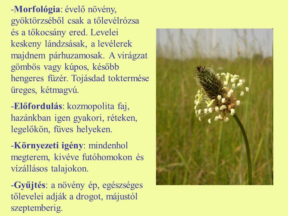 -Morfológia: évelő növény, gyöktörzséből csak a tőlevélrózsa és a tőkocsány ered. Levelei keskeny lándzsásak, a levélerek majdnem párhuzamosak. A virá