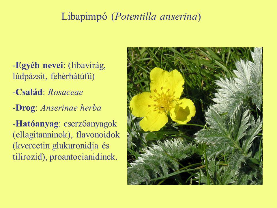 Libapimpó (Potentilla anserina) -Egyéb nevei: (libavirág, lúdpázsit, fehérhátúfű) -Család: Rosaceae -Drog: Anserinae herba -Hatóanyag: cserzőanyagok (
