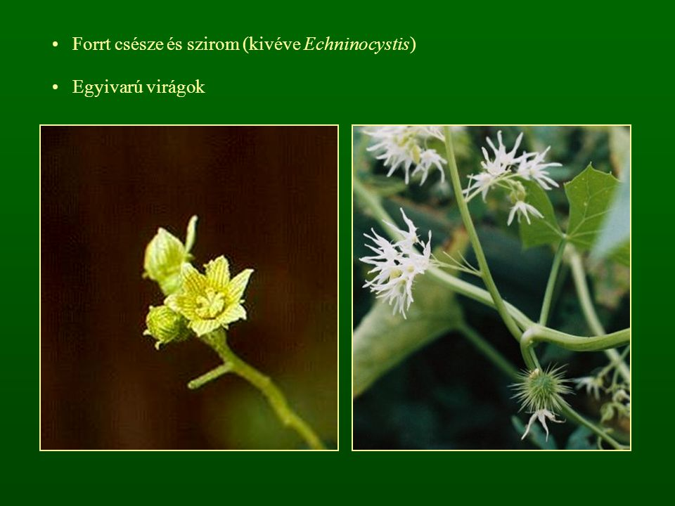 Forrt csésze és szirom (kivéve Echninocystis) Egyivarú virágok