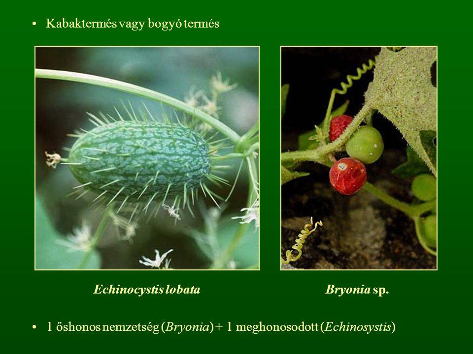 Kabaktermés vagy bogyó termés Bryonia sp.Echinocystis lobata 1 őshonos nemzetség (Bryonia) + 1 meghonosodott (Echinosystis)