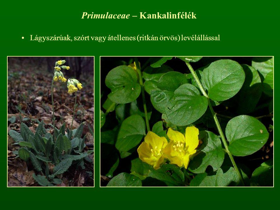 Primulaceae – Kankalinfélék Lágyszárúak, szórt vagy átellenes (ritkán örvös) levélállással