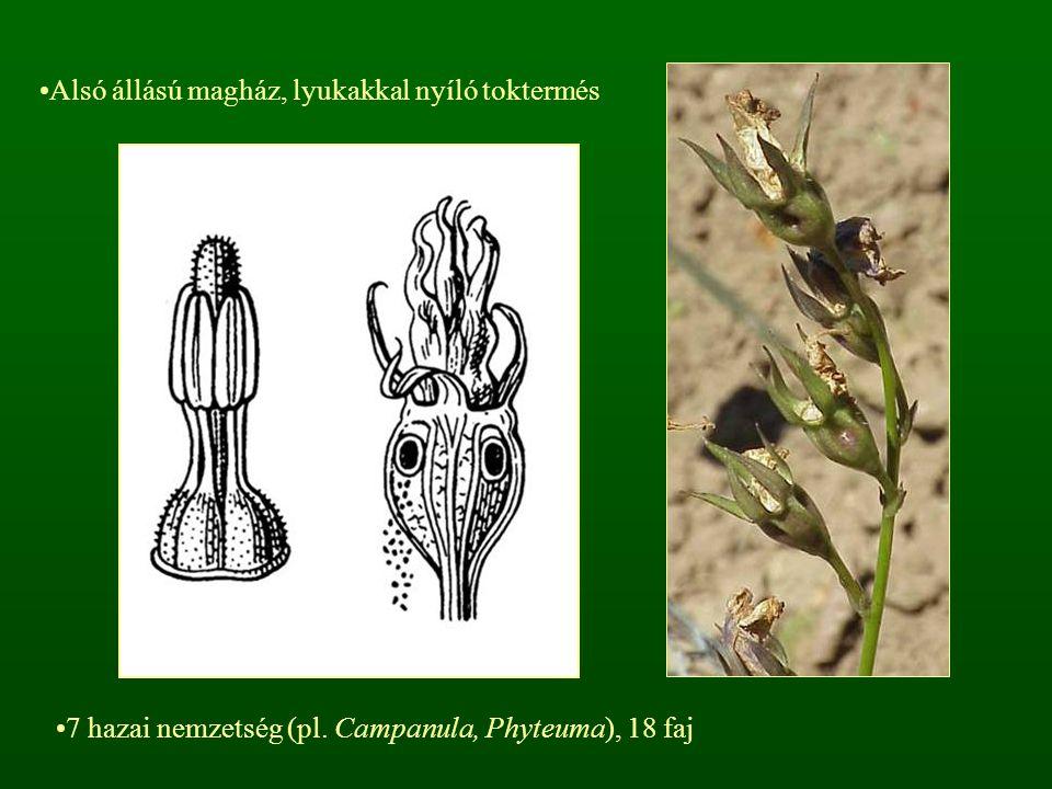 Alsó állású magház, lyukakkal nyíló toktermés 7 hazai nemzetség (pl. Campanula, Phyteuma), 18 faj