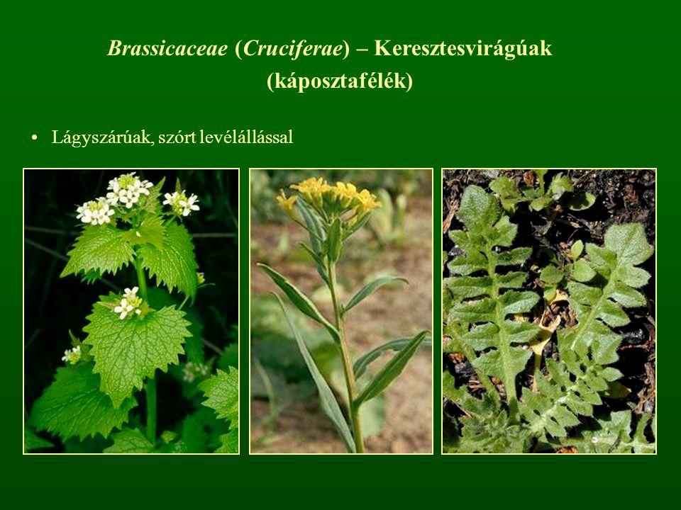 Brassicaceae (Cruciferae) – Keresztesvirágúak (káposztafélék) Lágyszárúak, szórt levélállással