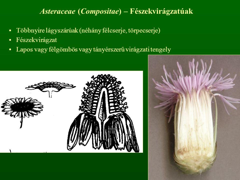 Asteraceae (Compositae) – Fészekvirágzatúak Többnyire lágyszárúak (néhány félcserje, törpecserje) Fészekvirágzat Lapos vagy félgömbös vagy tányérszerű