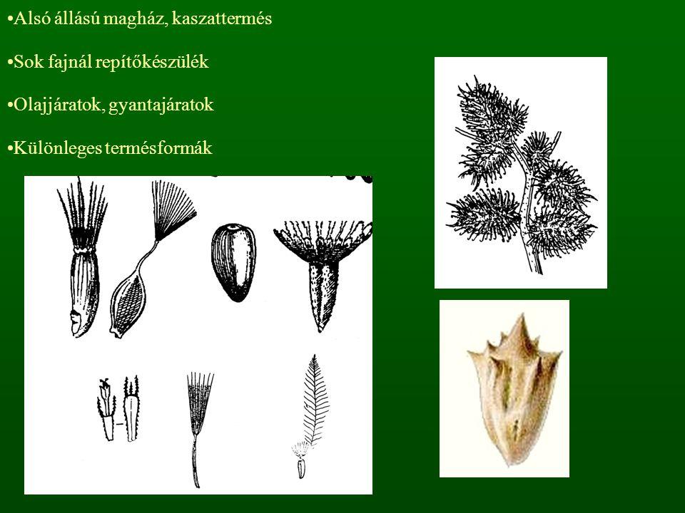 Alsó állású magház, kaszattermés Sok fajnál repítőkészülék Olajjáratok, gyantajáratok Különleges termésformák