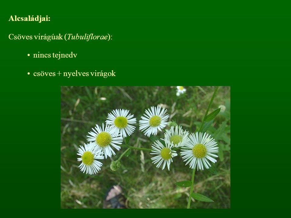nincs tejnedv csöves + nyelves virágok Alcsaládjai: Csöves virágúak (Tubuliflorae):