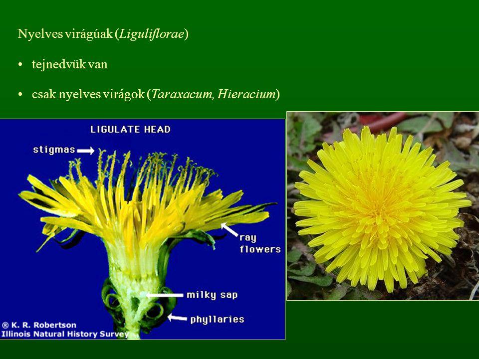 Nyelves virágúak (Liguliflorae) tejnedvük van csak nyelves virágok (Taraxacum, Hieracium)