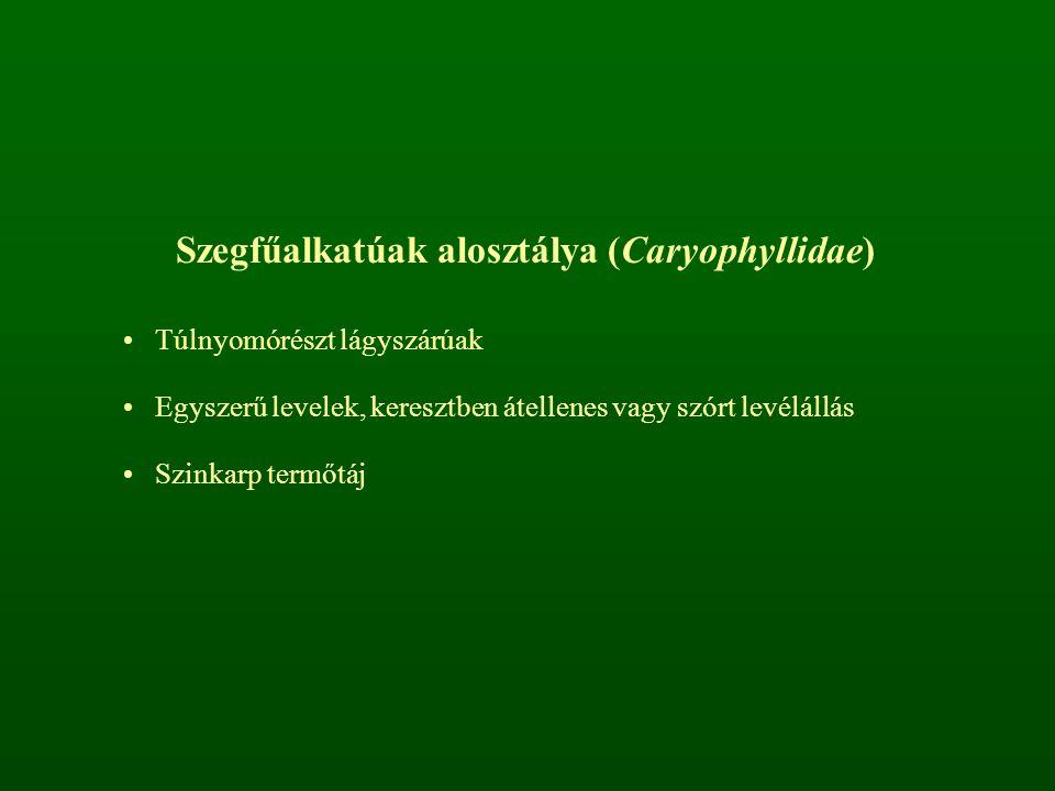 Szegfűalkatúak alosztálya (Caryophyllidae) Túlnyomórészt lágyszárúak Egyszerű levelek, keresztben átellenes vagy szórt levélállás Szinkarp termőtáj