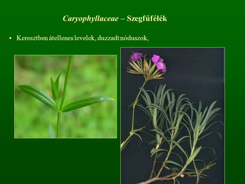 Caryophyllaceae – Szegfűfélék Keresztben átellenes levelek, duzzadt nóduszok,
