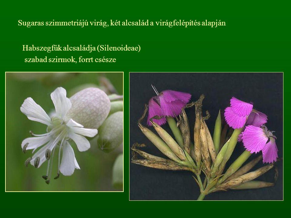 Habszegfűk alcsaládja (Silenoideae) szabad szirmok, forrt csésze Sugaras szimmetriájú virág, két alcsalád a virágfelépítés alapján